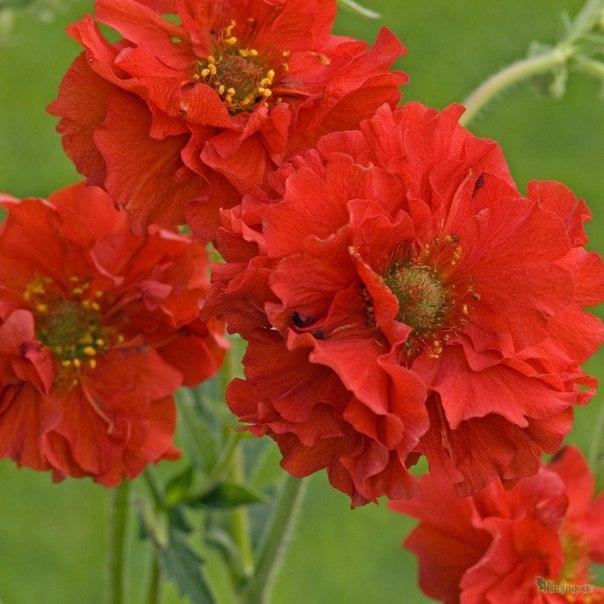 Аленький цветочек - гравилат. Аленький цветочек - гравилат 1