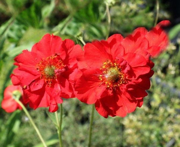 Аленький цветочек - гравилат. Аленький цветочек - гравилат 6