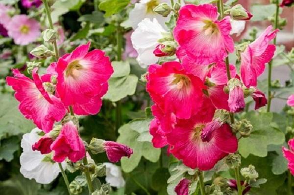 Мальва в саду. 13864.jpeg