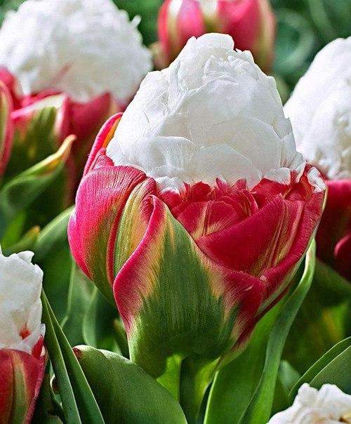 Тюльпан - мороженое. Украшение вашего цветника