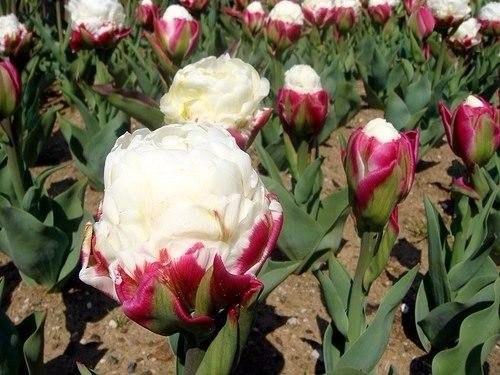 Тюльпан - мороженое. Украшение вашего цветника. Тюльпан - мороженое. Украшение 3