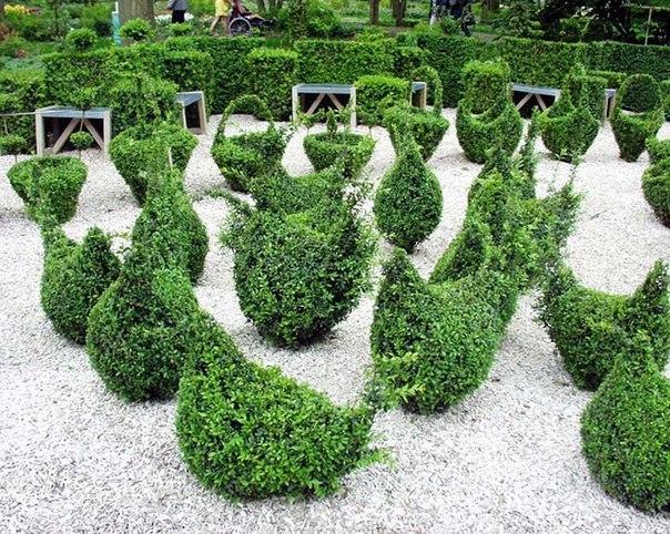 Самшит: украшение нашего сада. Секреты ухода
