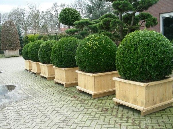 Самшит: украшение нашего сада. Секреты ухода. Самшит: украшение нашего сада 2