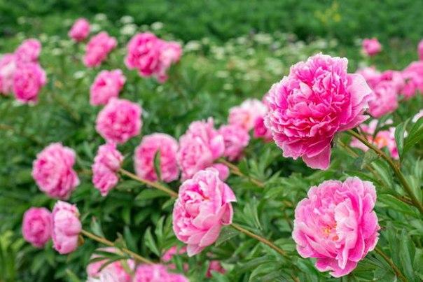 Как улучшить цветение пиона