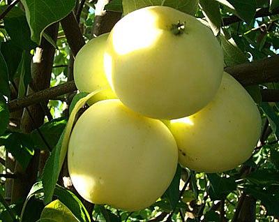 Как выращивать хорошие яблоки в саду