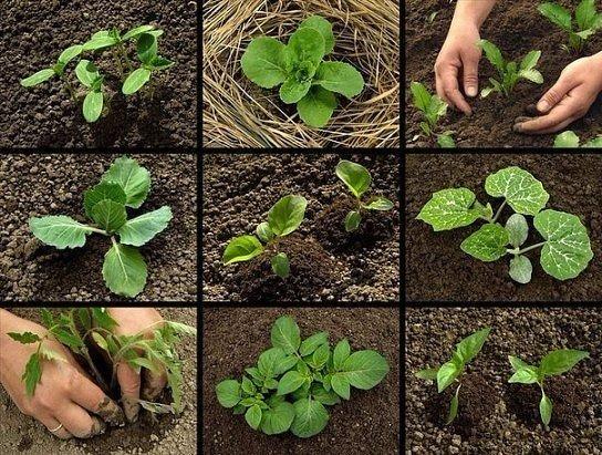 Сроки посадки рассады овощей