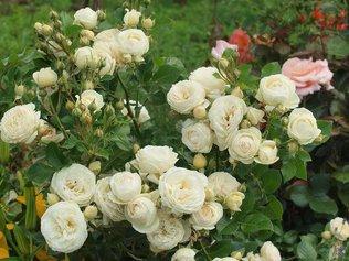 Кустовые розы всегда украсят ваш участок!