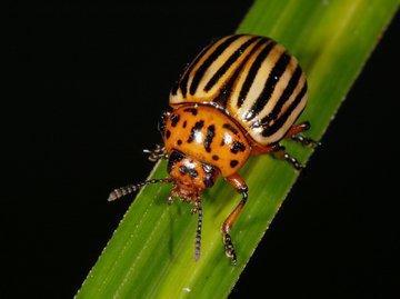 Как одолеть колорадского жука и не навредить урожаю химией?
