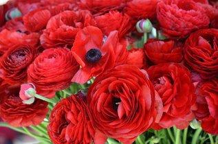 Сажаем цветы, похожие на пышные маки, - ранункулюсы