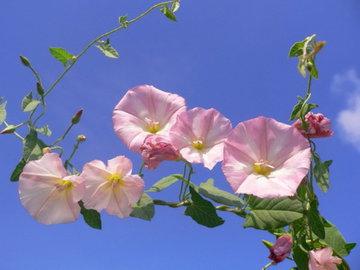 Как избавиться от вьюнов-сорняков и откуда они берутся