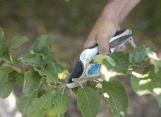 Прививка яблони летом: окулировка в кору