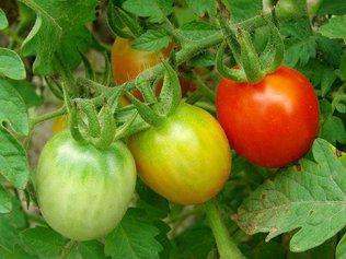 Почему не краснеют помидоры в теплице?