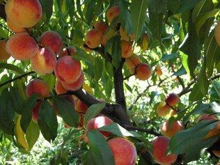 Персик в нашем саду -это уже не экзотика