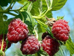 Повышаем урожай малины простыми методами