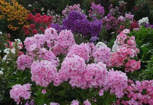 Любимые цветы моей бабушки- флоксы