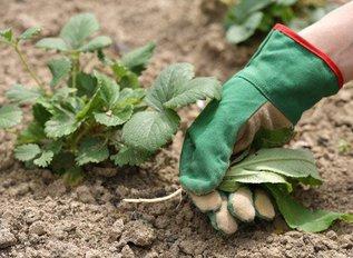 Важно: уход за клубникой после сбора урожая