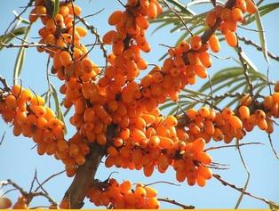 Секреты заготовки золотой ягоды облепихи на зиму