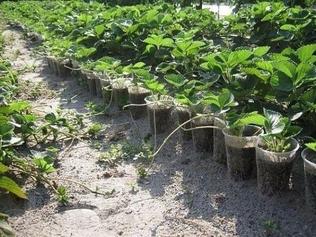 Отбор посадочного материала земляники с кустов
