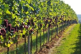 Как ухаживать за виноградом в первый год