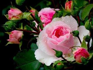 Русская зима: закаливаем розы