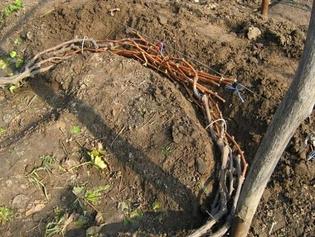 Как правильно обрезать и укрывать виноград на зиму