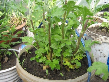 Вырастить хризантему из букета совсем не сложно