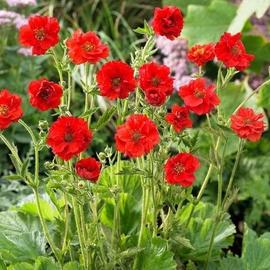 Аленький цветочек - гравилат