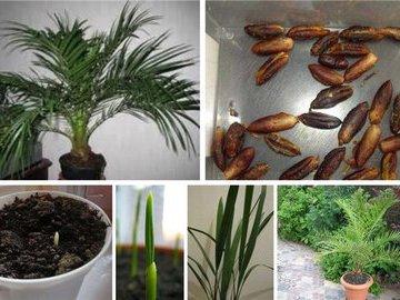 Финиковая пальма дома: полезно и креативно