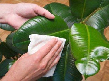 Как ухаживать за листьями домашних цветов?