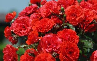 Пять важных вопросов о зимовке роз