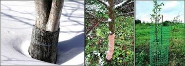 Защищаем зимой сад от мышей и зайцев