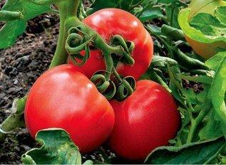 Высокие урожаи томатов в теплице?