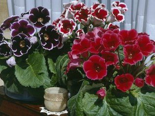 Как вырастить глоксинию из семян