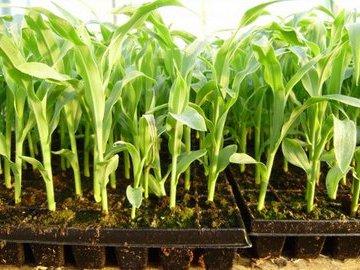 Грандиозные урожаи из правильно подготовленных семян