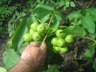 Как правильно посадить дерево грецкого ореха