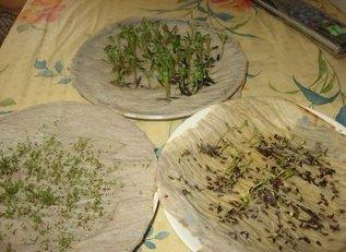 Как у меня прорастают семена