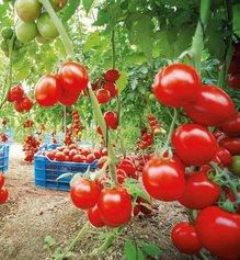 Семь правил большого урожая помидоров