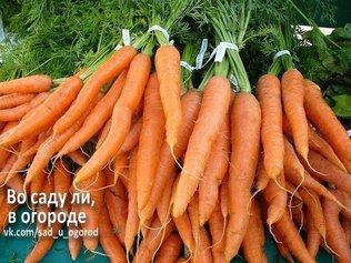 Морковь горчит