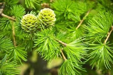 Как не надо сажать хвойные растения