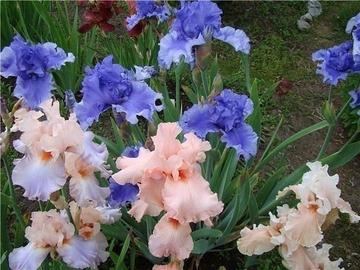 Ирисы тоже любят уход, тогда они цветут долго