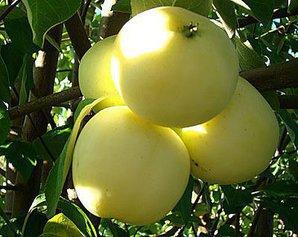 Как получать хорошие яблоки в саду