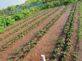 Выращивание картофеля по Митлайдеру
