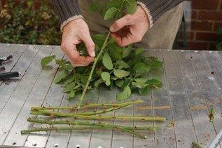 Выращиваем черенки розы в картошке