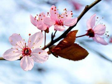 Лучшие опылители для основных сортов вишни