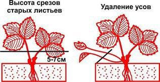 Обрезка листьев и усов клубники - когда, как и зачем?