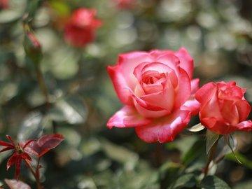 Какие розы надо высаживать только весной?