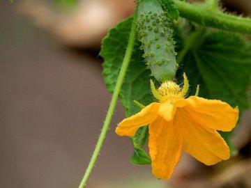 Подвязка огурцов - это непременное условие большого урожая