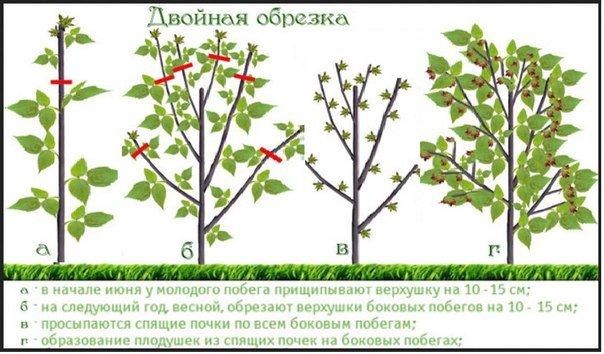 Как проредить малину весной