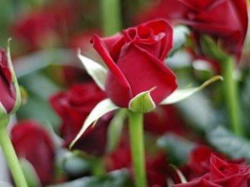 Почему я обрезаю розы только весной