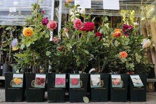 О качестве саженцев роз